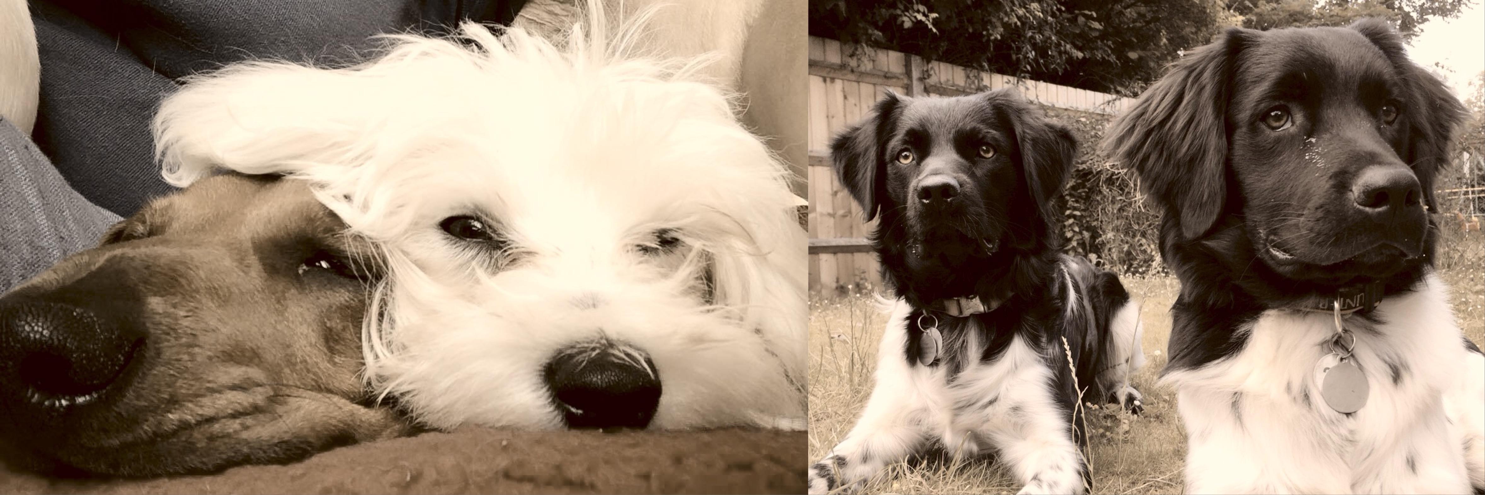 Home dog training Herts